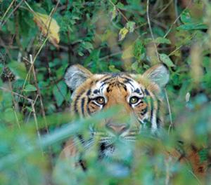 IFAW prijst Chinese regering om verbod op verkoop tijgerwijn