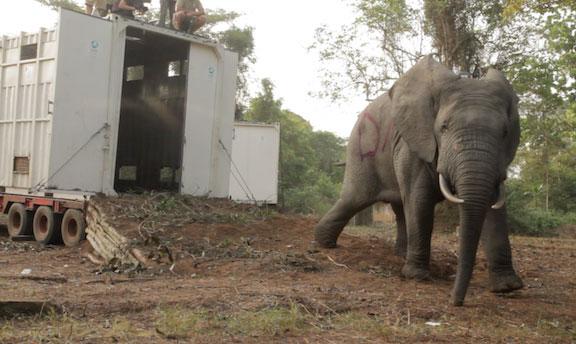 Un quatrième éléphant est relaché dans le parc national  d'Azagny