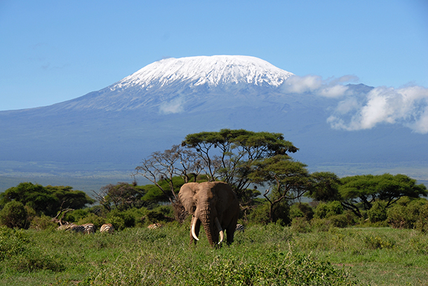 The elephants of Amboseli, one of which is pictured here under Mt. Kilimanjaro,