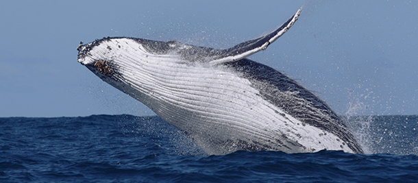 The Australian government will continue non-lethal whale research funding.