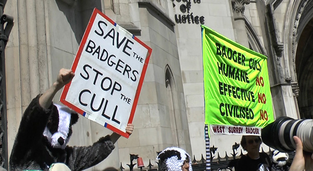 The pilot badger culls in the south-west of England, in Gloucestershire and Some