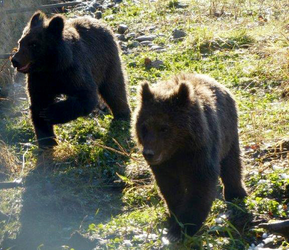 Two grizzly cubs, rescued near the Kitimat River in BC, have found sanctuary unt