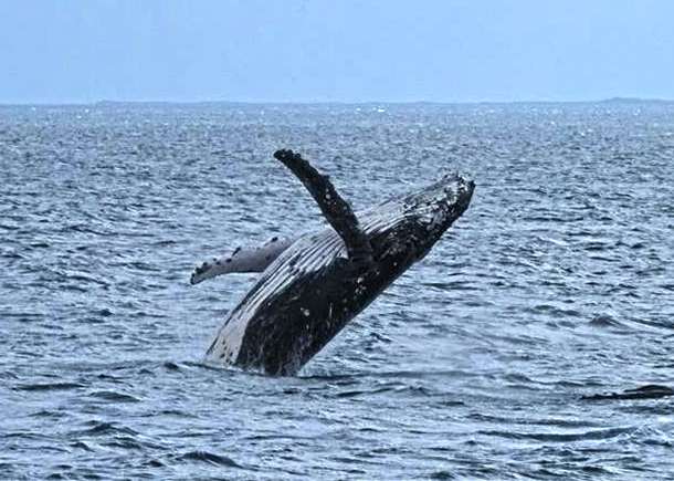 A humpback whale breaches in Hervey Bay. © IFAW/M. Collis