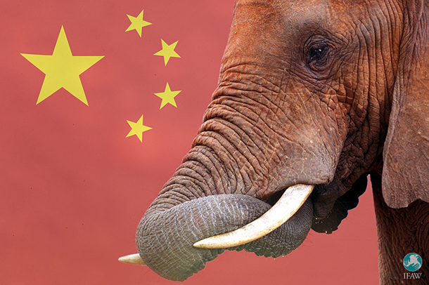 china ends domestic elephant ivory trade in 2017