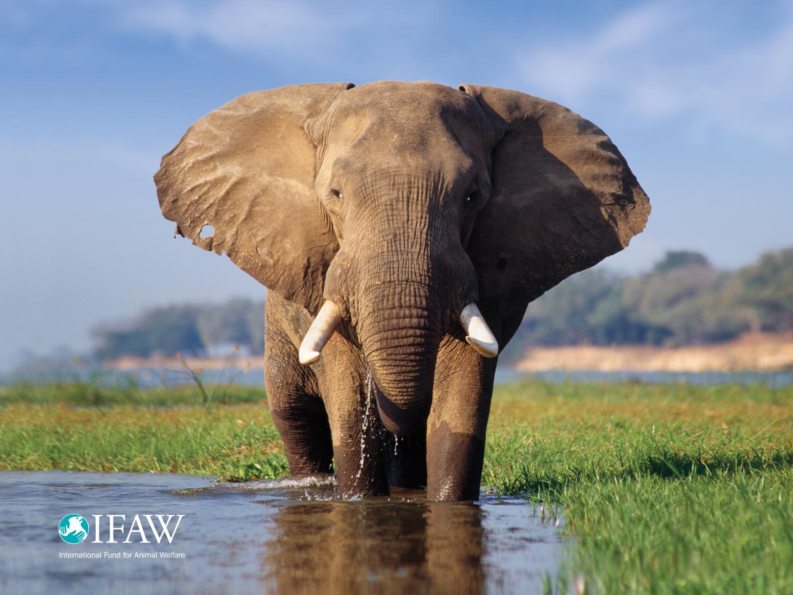 elephant wallpaper ifaw international fund for animal welfare. Black Bedroom Furniture Sets. Home Design Ideas