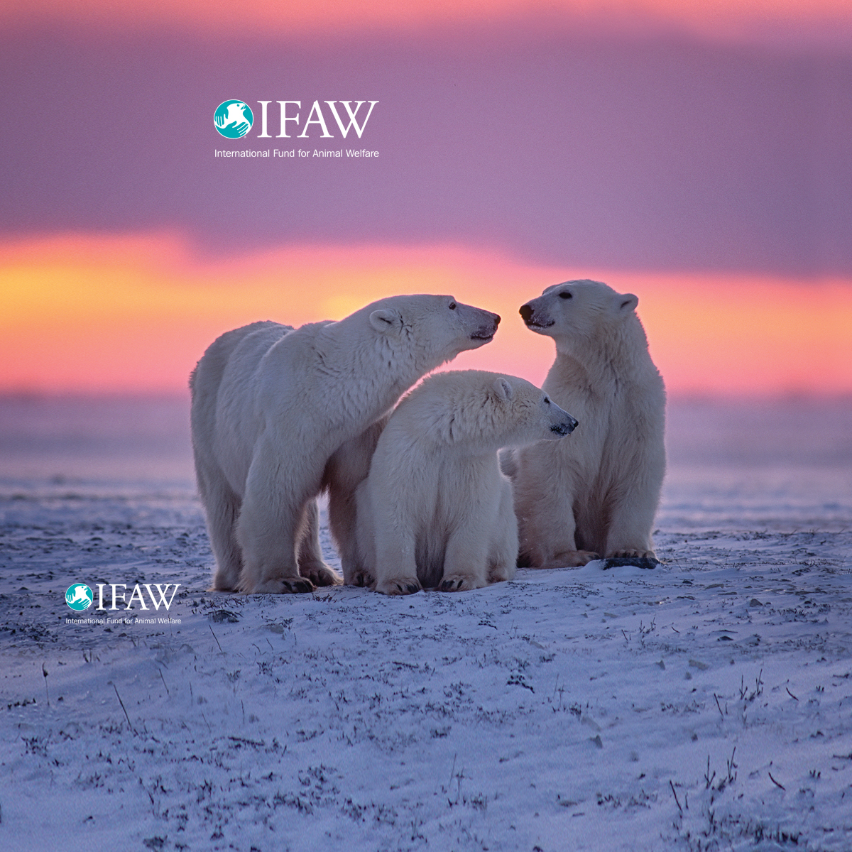 Polar Bear Wallpaper Ifaw International Fund For Animal Welfare