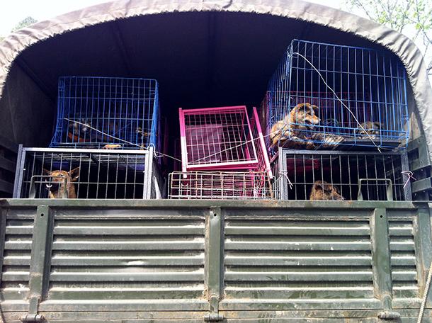 Sauvés du massacre qui les attendait, ces chiens doivent leur salut à un groupe