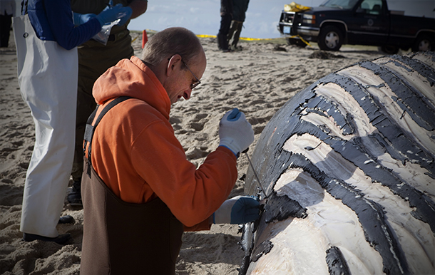 Michael Moore takes a tissue sample during a whale necropsy at Chatham Light Bea