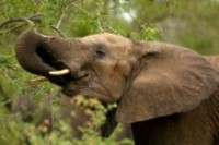 Africa's protected areas have just a quarter of the elephants they should