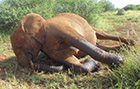 Expectant elephant speared in Amboseli