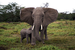 Department of environmental affairs trying to remove protection for elephants