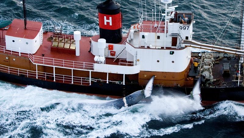 Isländischer Walfänger mit zwei getöteten Finnwalen