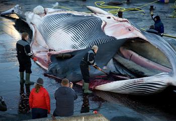 Finnwale: bedroht und trotzdem gejagt