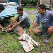 The IFAW team releases a rescued hogdeer