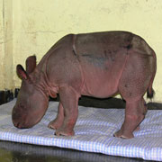 We've named this rhino calf Asha -- one of the lucky ones!