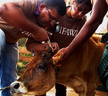 Zyklon Phailin: Tagebuch unserer Tierrettung in Indien