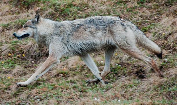 Gray wolf in Denali National Park, photo by Ken Miller.