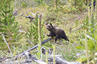 Rescued yearling grizzly cub returns to the wild near Cranbrook via BC pilot pro