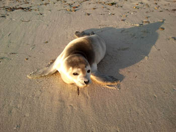 Juvenile harbor seal born this year (probably 1-3 months old) Local Cape residen