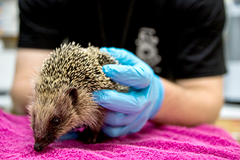 Rescue worker examines a hedgehog at a rescue centre. Photo credit: Chris Buggins.