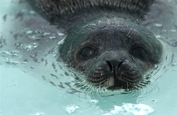 Chasse commerciale aux phoques : les arguments du Canada invalidés devant l'OMC