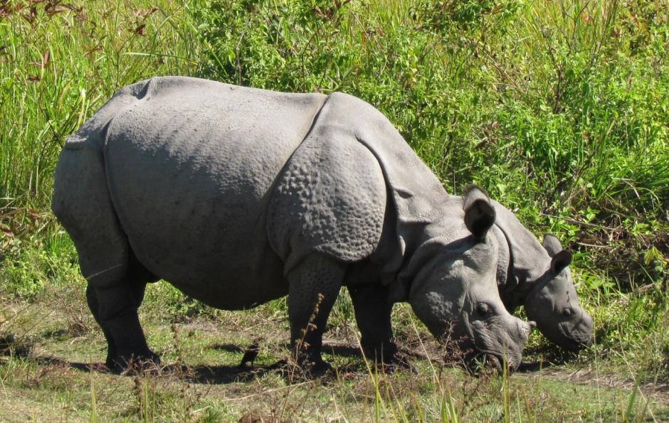 Circle of life in Manas, India: rehabilitated rhinos continue to thrive