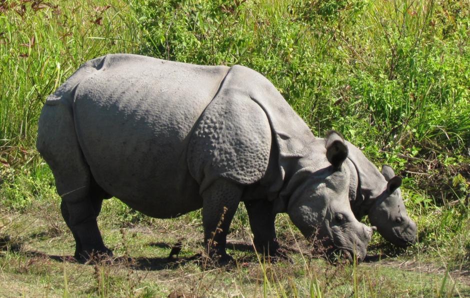 Le cercle de la vie à Manas, en Inde : les rhinocéros réhabilités se portent tou