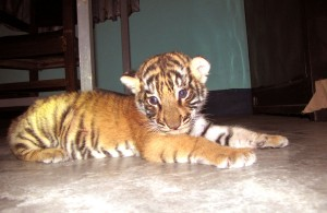 An lone Royal Bengal tiger cub will hopefully be reunited with its mother.