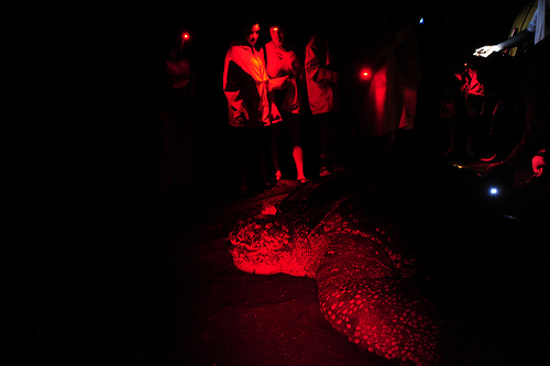 A leatherback sea turtle digs her nest on a Dominican beach while volunteers watch.