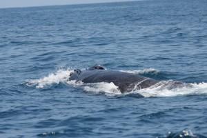 A shot of the entangled humpback.