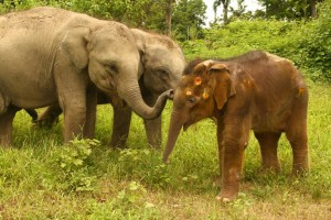 """Dev"" the rescued elephant calf with Junmoni and Tora. C. IFAW/Chris Minge"