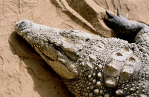 Rescued croc from Tsavo.