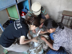 "IFAW veterinary staff working with a dog at a ""spay relay"" event in China this year."