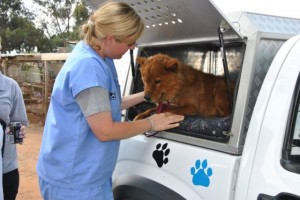 An IFAW vet helps an orphaned dog into our mobile clinic.