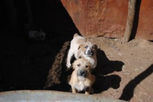 Two of the dogs in the 2m x 1m enclosure in Swanieville.