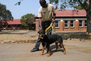 The young female rotty who was rescued from the tavern standing with Toby, an IFAW assistant.