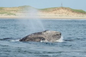 A western gray whale spouting off near Sakhalin Island, Russia.