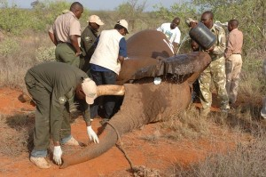 IFAW and KWS scientists collar a one-tusked bull in Tsavo. IFAW/D. Willetts.