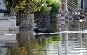 Another dog wanders aimlessly during Hurricane Katrina.