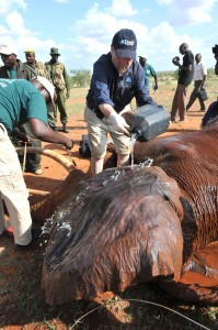 Fred O'Regan of IFAW pours water to cool an elephant as it is being collared by IFAW and KWS scientists in Tsavo Park. The eight collared elephants will help in mapping out migratory patterns, corridors and reduce conflict with humans.