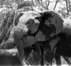 The lovely Gloria, who originally brought the GB family to Amboseli. Cynthia Moss took this photo in 1977