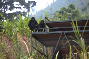 Thanks to IFAW, Dian Fossey Fund International and several other groups, six endangered Grauer's gorillas were airlifted from a rehabilitation facility in Rwanda to a center in the Democratic Republic of Congo (DRC) on July 23rd and 24th 2011.