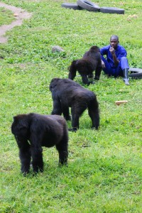 The 'Kinigi Six' orphaned gorillas spend their last days in Rwanda before being relocated by land and air to their new home at the GRACE (Gorilla Rehabilitation and Conservation Education) center in Kasugho, Democratic Republic of Congo. These endangered Grauer's gorillas all lost their mothers to poaching in the DRC.  c. 2011 IFAW/M. Booth
