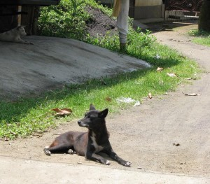 "After 3 Years of Intense Evaluation, a true ""community"" dog was found in Bali."