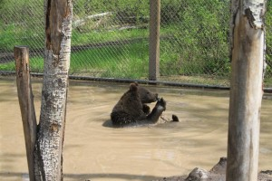 Lori is enjoying a stick of Poplar in the pool.