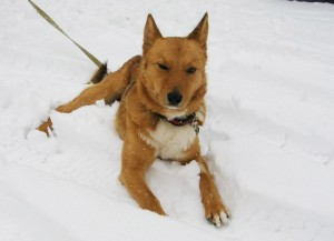 Marta the Russian Dog Takes a Break in the Cool Snow.