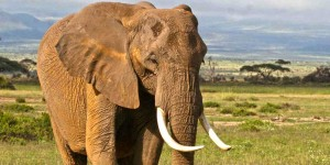 https://blog.ifaw.org: Olympia, the young matriarch of the OAs, is a graceful-tusked 31-year-old. She became the matriarch after her mother died in the 2009/2009 drought. How she copes with such a responsibility at a relatively young age will determine how well her family fares.