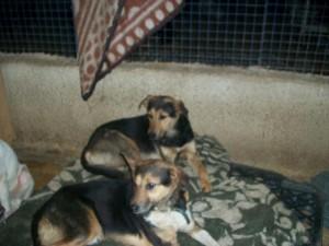 Mokko & Azzo, two male German shepherds.