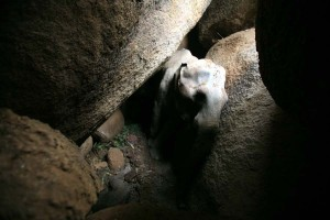 A picture of the injured and trapped calf.