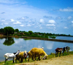 Animals graze the shores after the flooding in Pakistan.